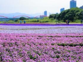 紫色花海浪漫盛開!古亭河濱公園漸層花毯成城市打卡新秘境!