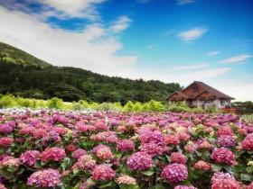 「2021陽明山繡球花季」水藍、洋紫色繡球花登場!竹子湖特色賞花景點準備開園!