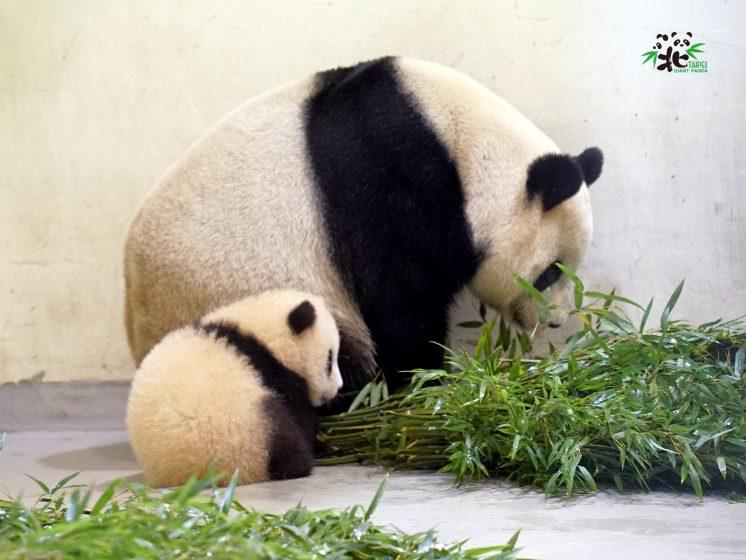 台北市立動物園貓熊
