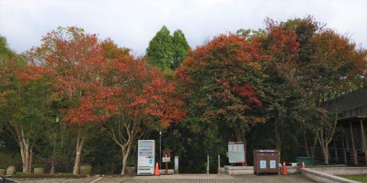 東勢林場楓葉