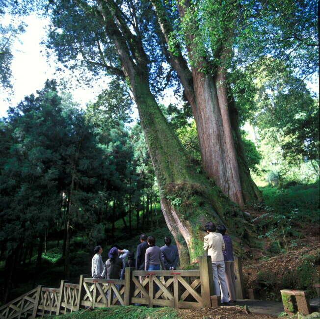 阿里山巨木棧道