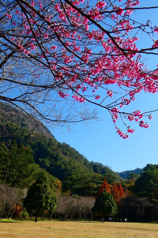 奧萬大櫻花