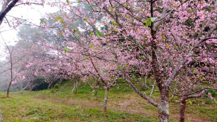 桃源寶山櫻花公園