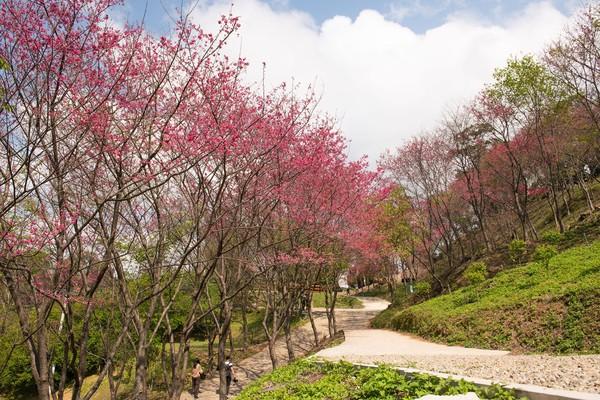 翠墨莊園櫻花