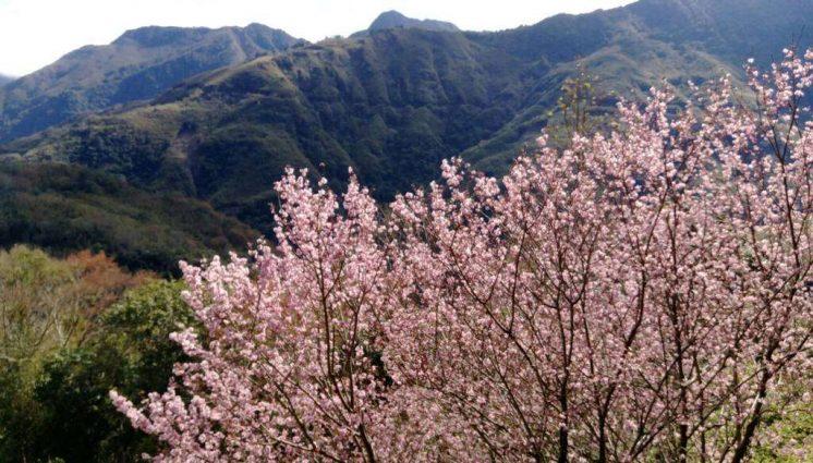 桃園北橫中上巴陵櫻花