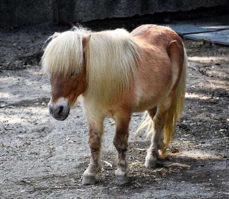 法拉貝拉迷你馬