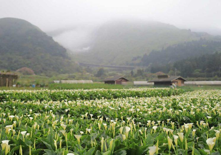 花谷海芋園