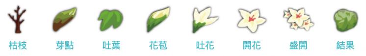 油桐花生長過程
