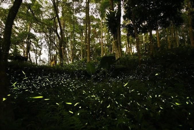 文山農場螢火蟲季