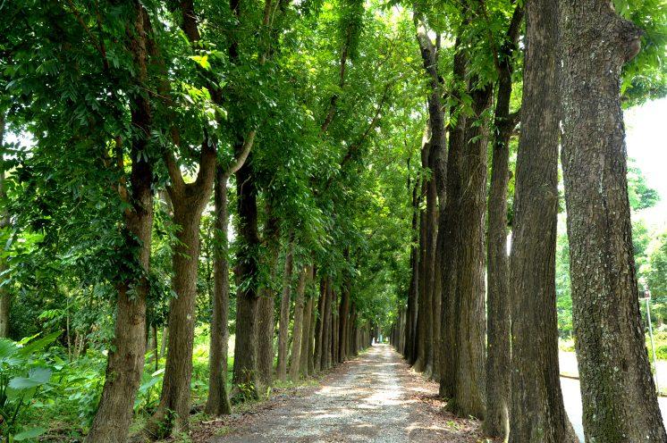 新威森林公園_桃花心木步道