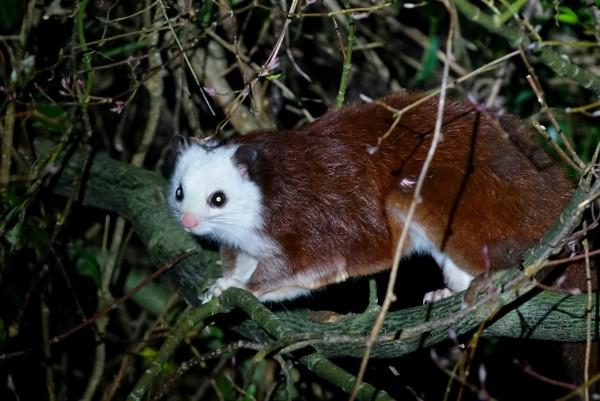 大雪山白面鼯鼠