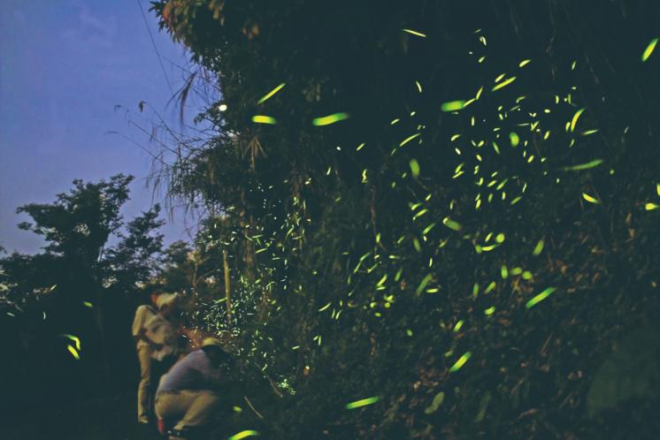 梅嶺螢火蟲季