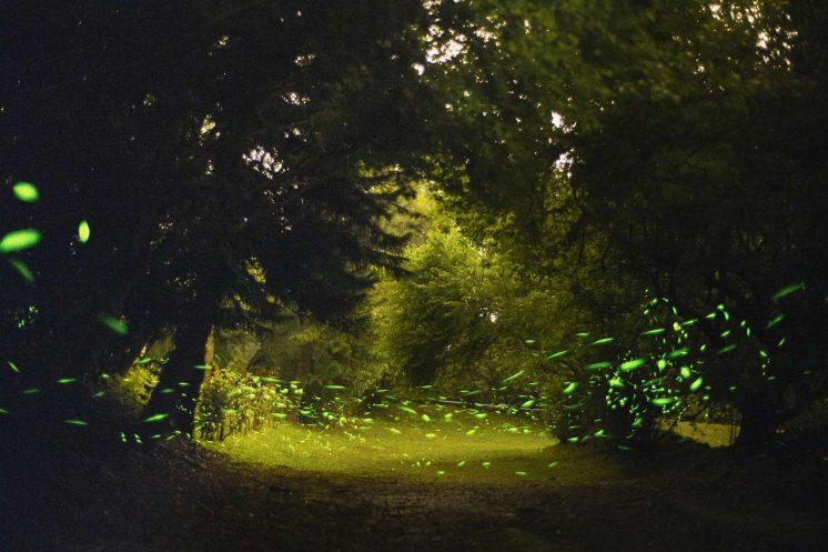池南森林遊樂區螢火蟲季