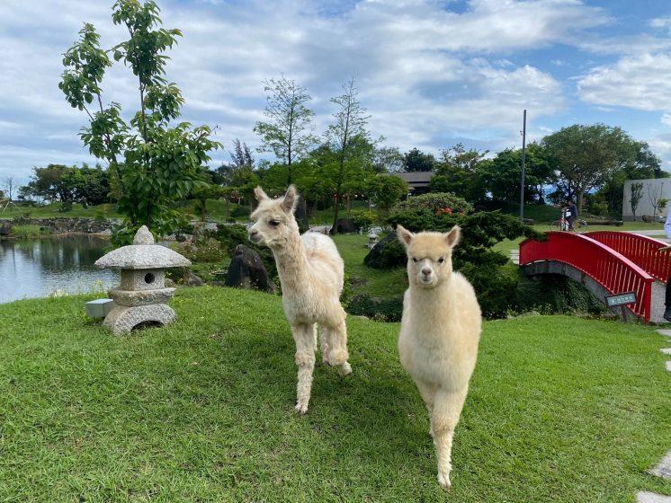 綠舞日式園區-羊駝