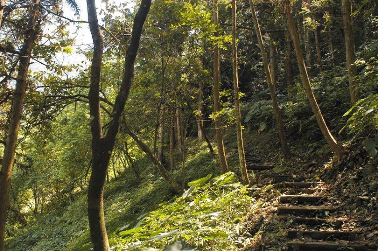 八仙山國家森林遊樂區_松林步道