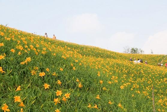 虎山巖金針花
