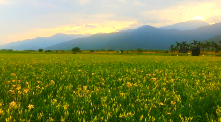 花蓮193縣道金針花