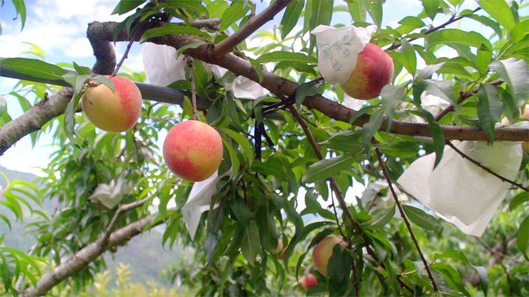 尖石水蜜桃