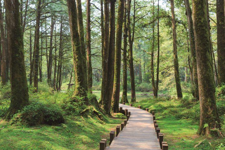 阿里山國家森林遊樂區_檜木林